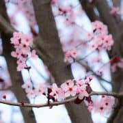 Plum Blossoms | Kitchen Confidante