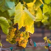 Chef Tables in the Vineyard | Kitchen Confidante | Grapes in Golden Light