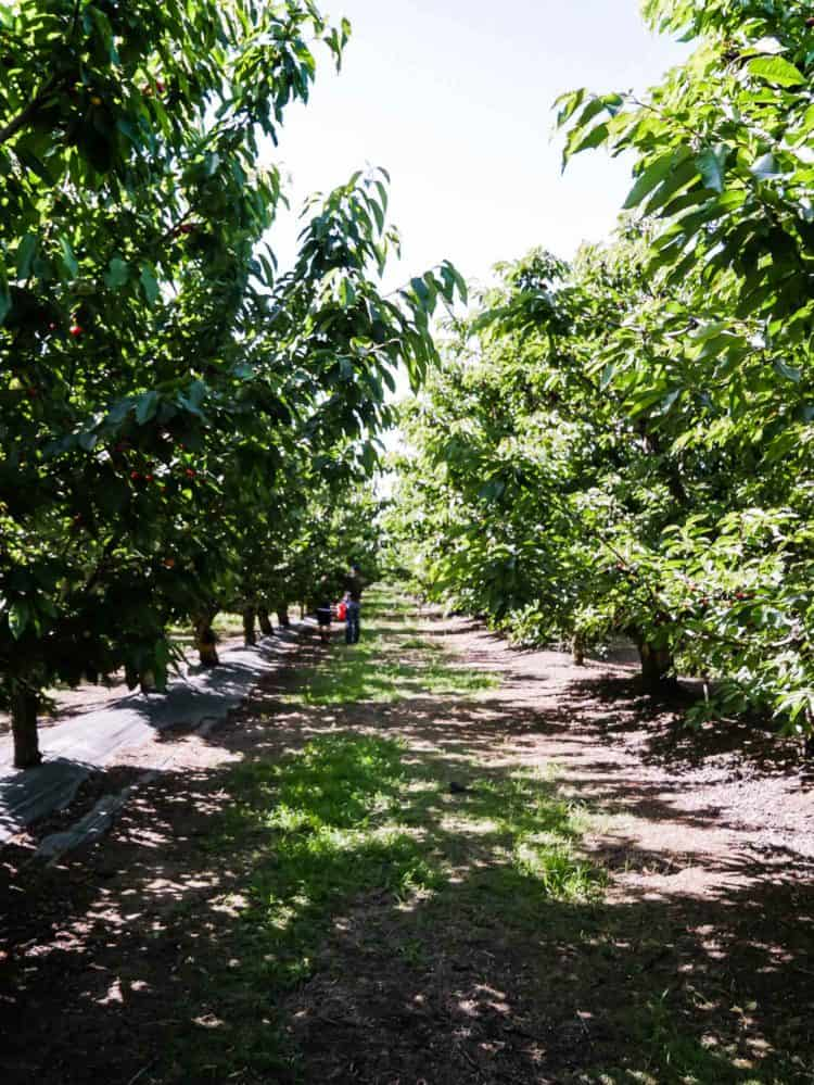 Cherries orchard in Brentwood, California. A guide to u-pick cherries in the Bay Area.