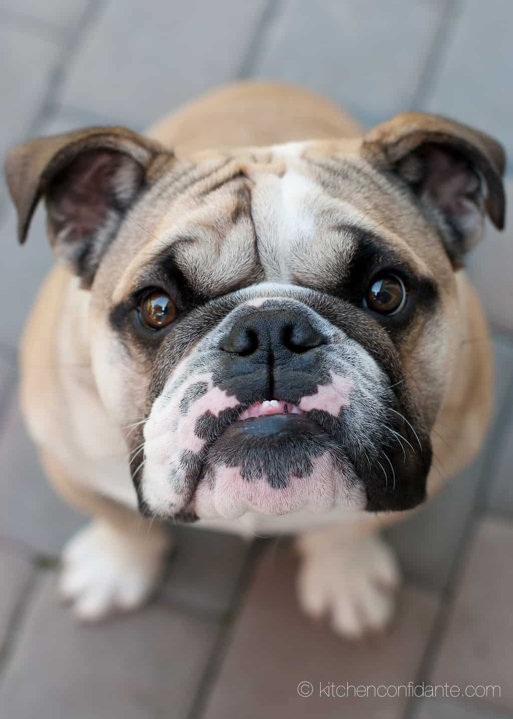 Close-up of English Bulldog's face
