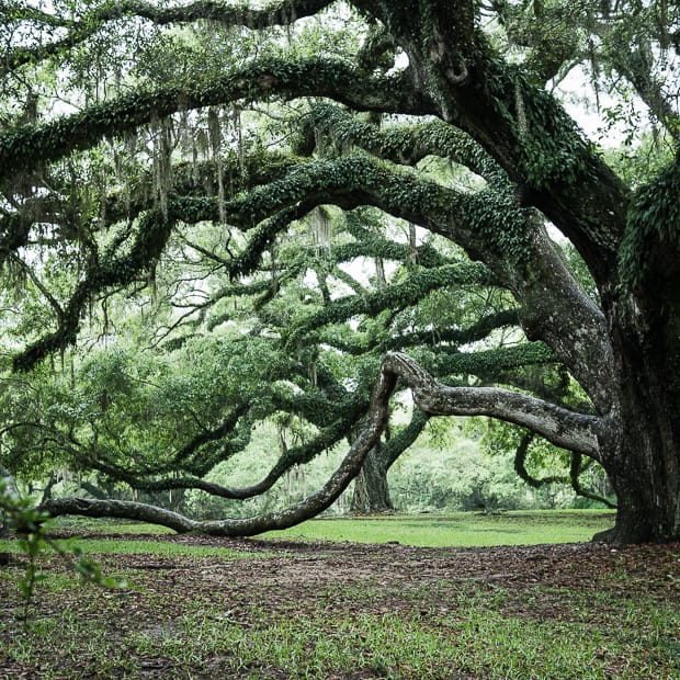 Scenes from Avery Island and Tabasco | www.kitchenconfidante.com | Oak and Spanish Moss