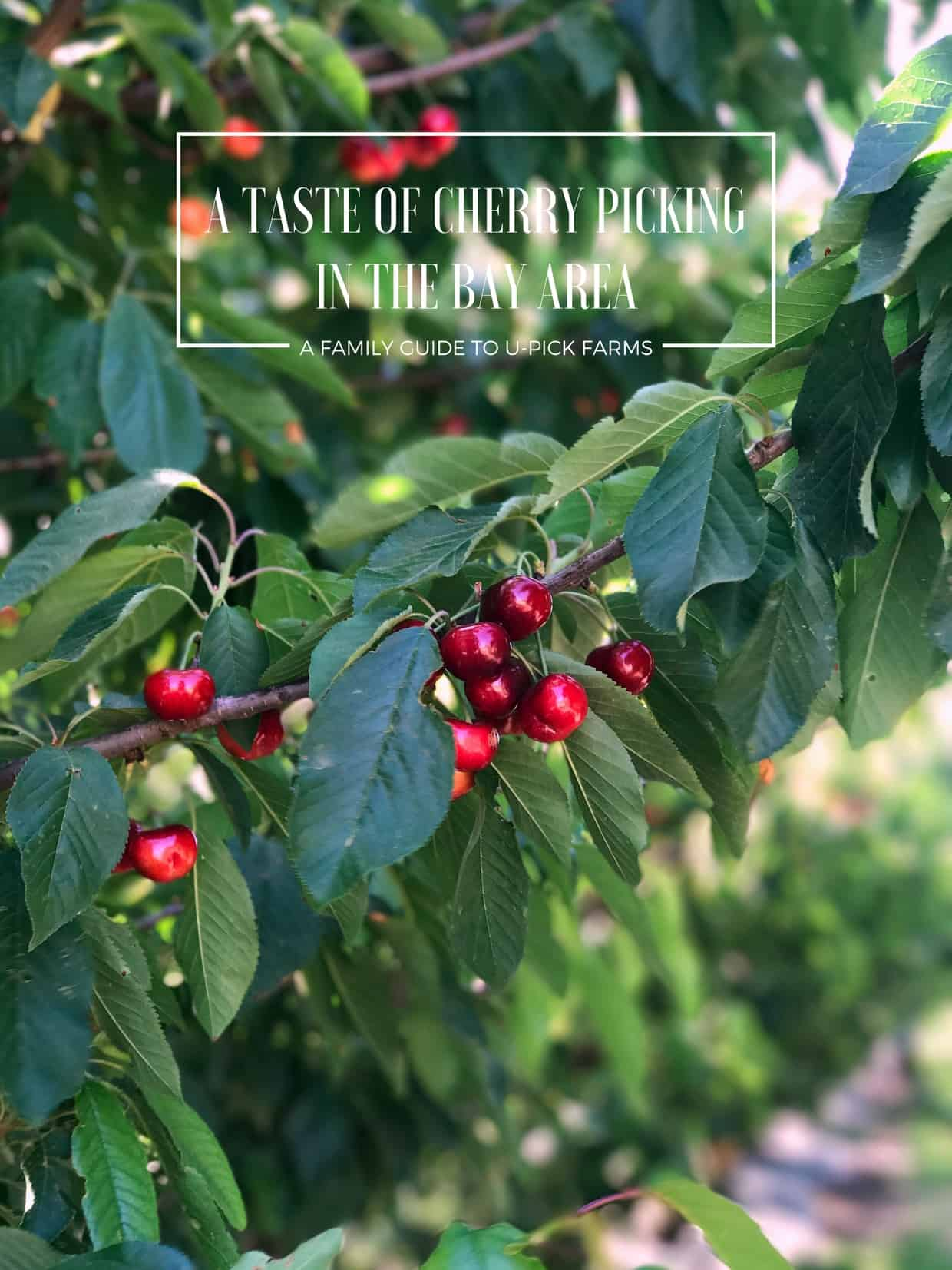 A Taste Of Cherry Picking In The Bay Area A Family Guide To U Pick Farms Kitchen Confidante