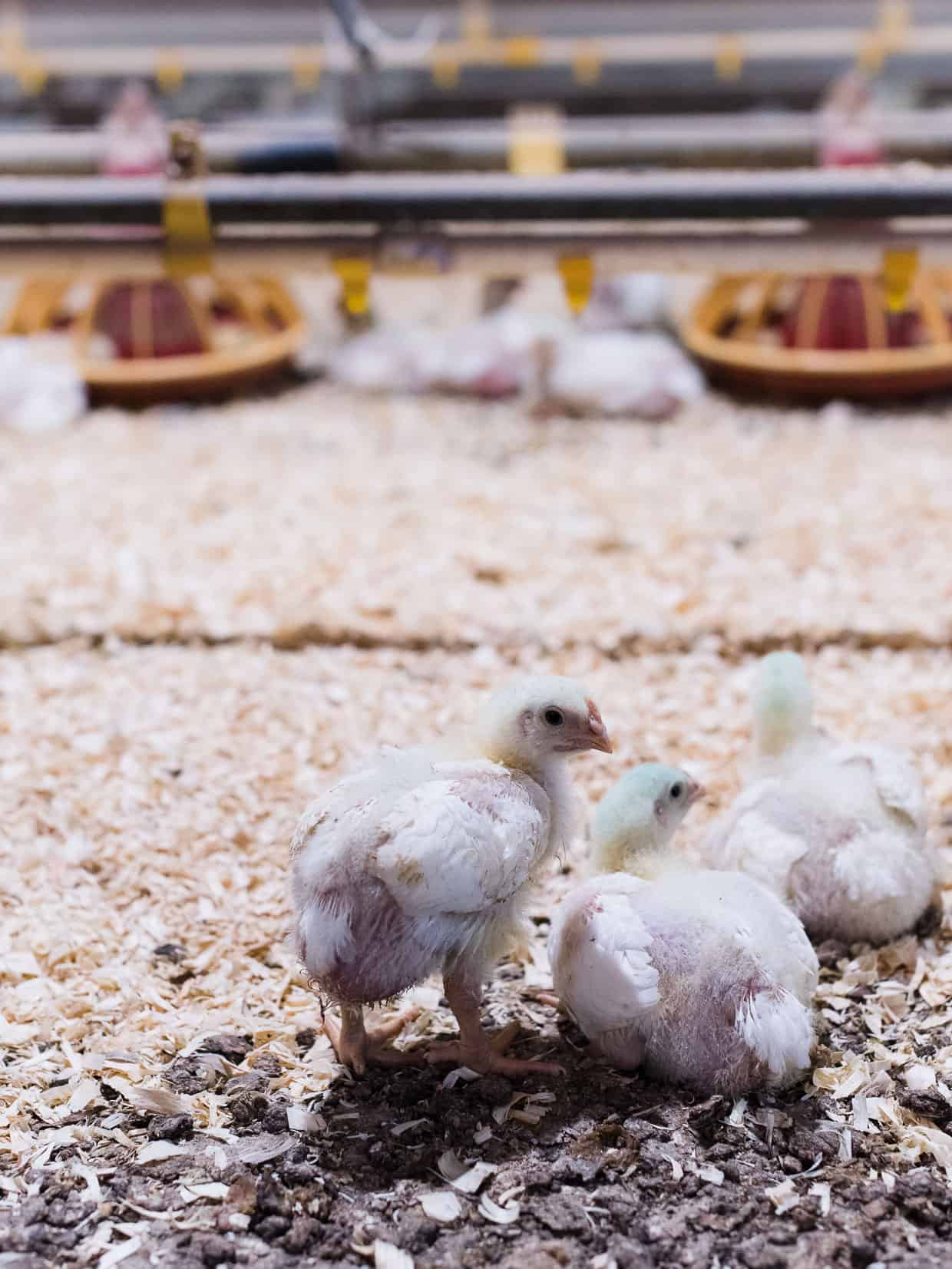 Have you ever wondered what it's like at a chicken farm and chicken production in the U.S.? Join me as I share my recent visit to a farm in Maryland with the National Chicken Council. #sponsored