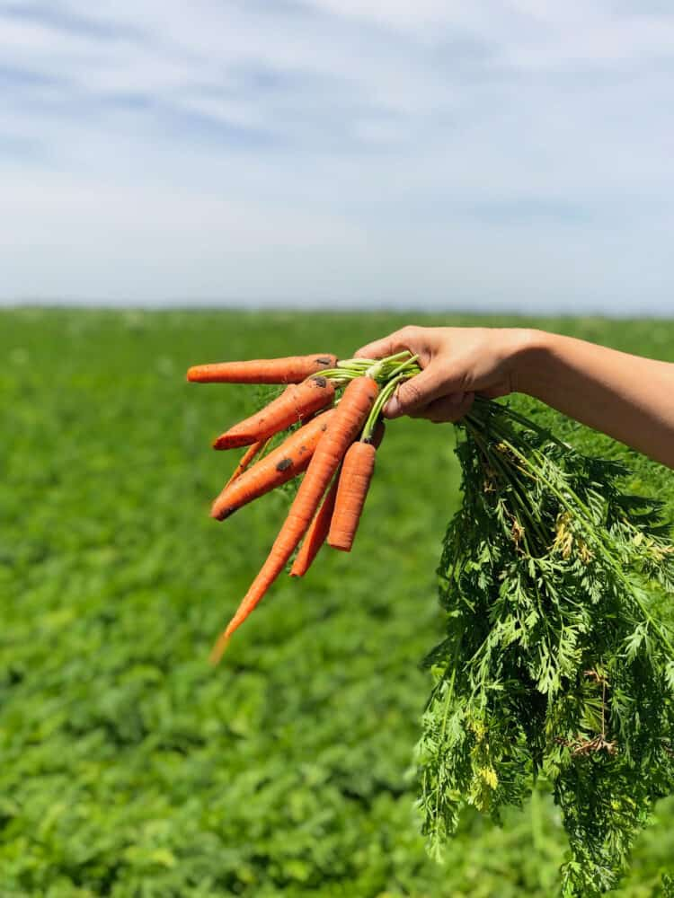 Carrots freshly pulled from the field during the California Farm Water Coalition Tour.