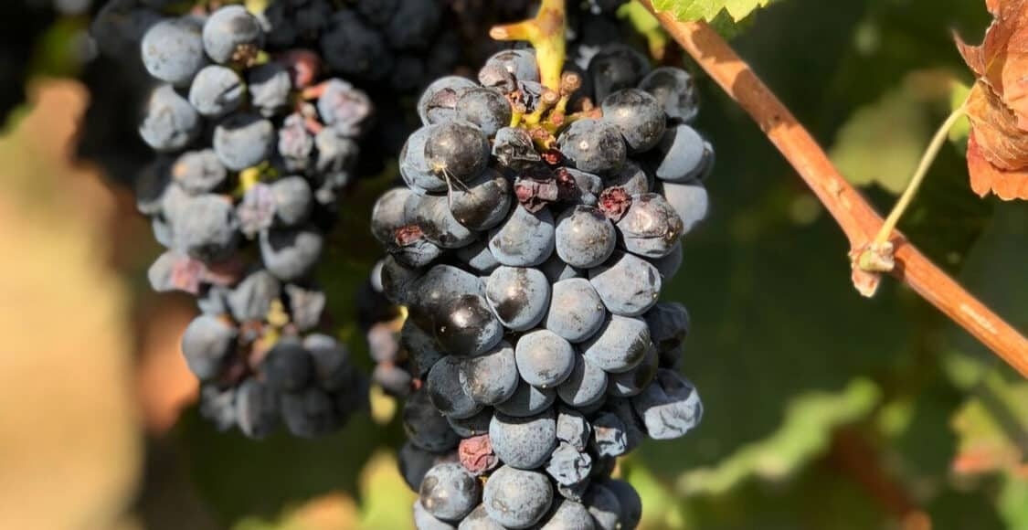 Grapevine in Healdsburg - one of Five Little Things I loved the week of October 4, 2019.
