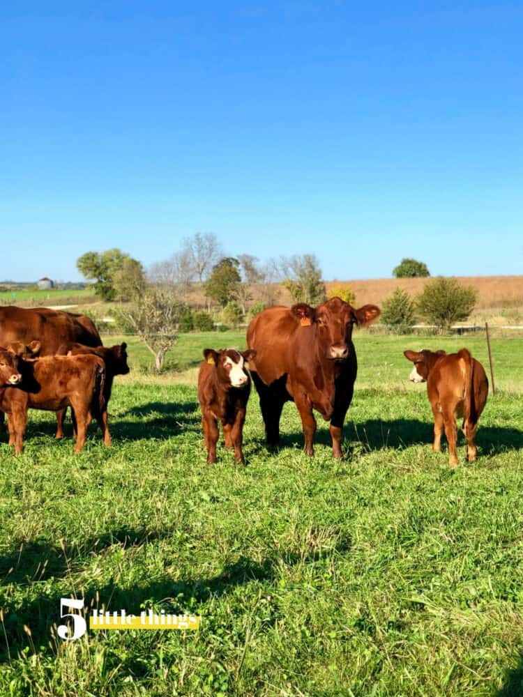 A trip to visit cattle in Iowa - Five Little Things October 11, 2019.