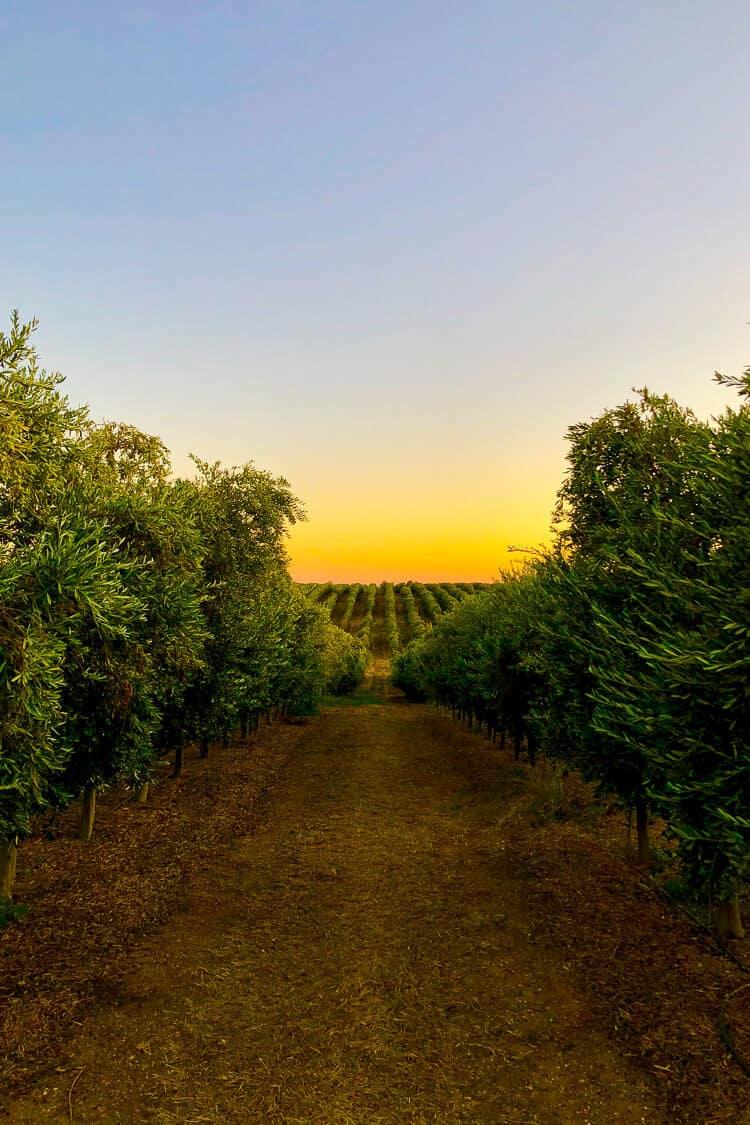 Cobram Estate Olive Groves in Woodland California - Olive oil 101