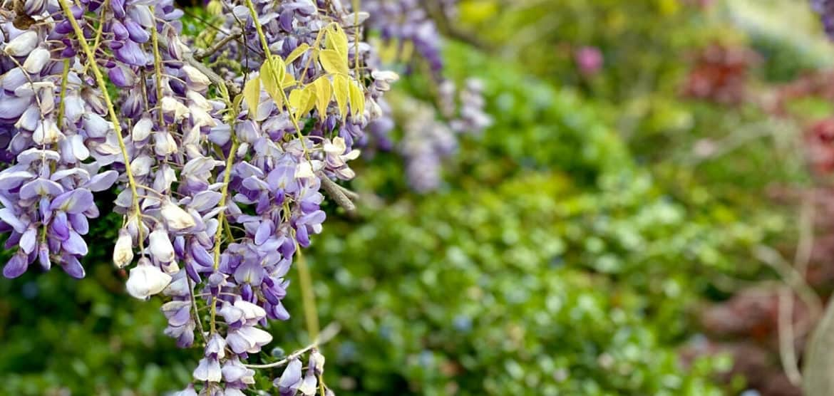 Wisteria is one of Five Little Things I loved the week of April 10, 2020.